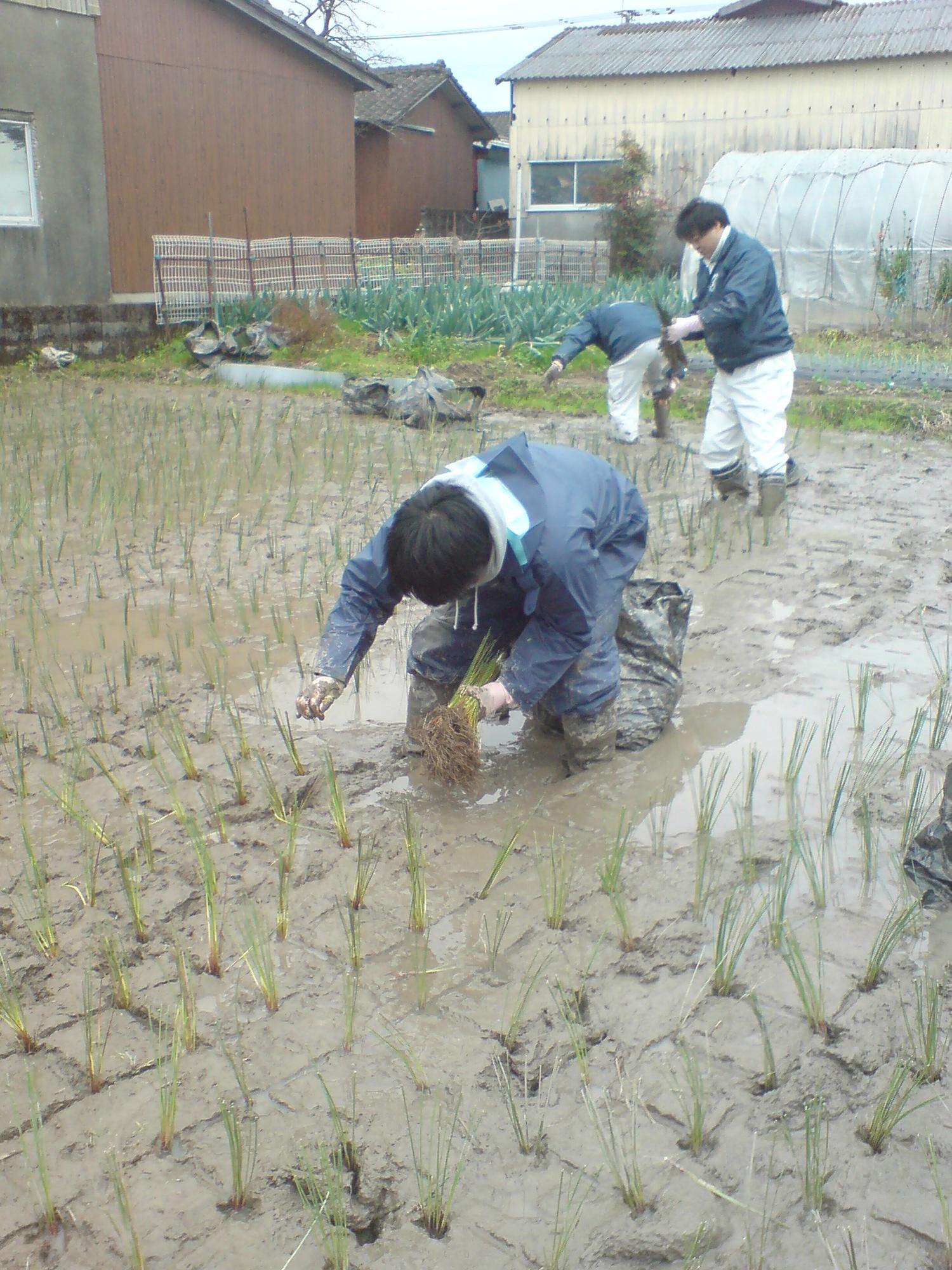 藺草苗の掘り起こし~植え付けまで 012