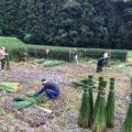 七島藺(琉球表)の刈り取り体験をしてきました
